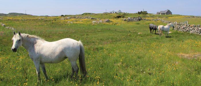 Connemara Ponies in Ballyconneely
